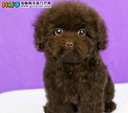 赛级泰迪犬幼犬,纯度第一品质第一,签订正规合同