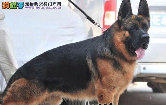公母均有的泸州德国牧羊犬找爸爸妈妈赠送全套宠物用品