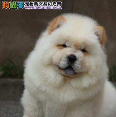 杭州市出售松狮犬幼犬 可视频看狗 可上门挑选 带证书
