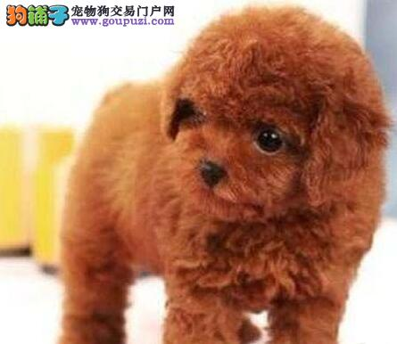 贵宾犬宝宝出售中、专业繁殖血统纯正、三年质保协议