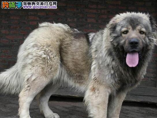 基地直销纯种郑州高加索犬骨骼粗壮售后完善2