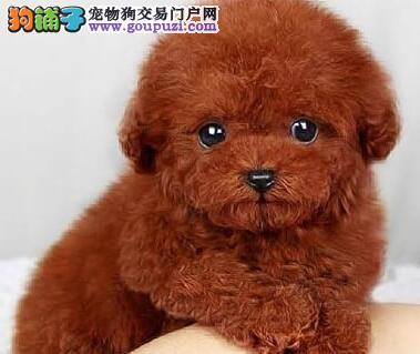 纯种韩系泰迪 银川犬舍本月畅销犬种 千万不要错过哦4