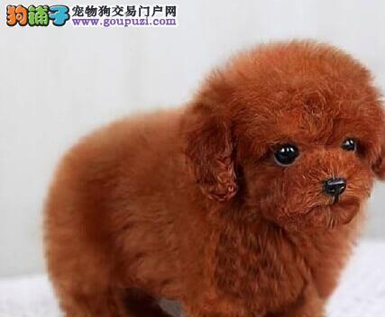 纯种韩系泰迪 银川犬舍本月畅销犬种 千万不要错过哦2