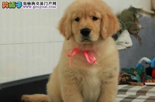 广州出售精品大头版大骨架金毛寻回犬签合同健康售后