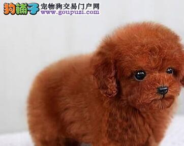 纯种韩系泰迪 银川犬舍本月畅销犬种 千万不要错过哦3