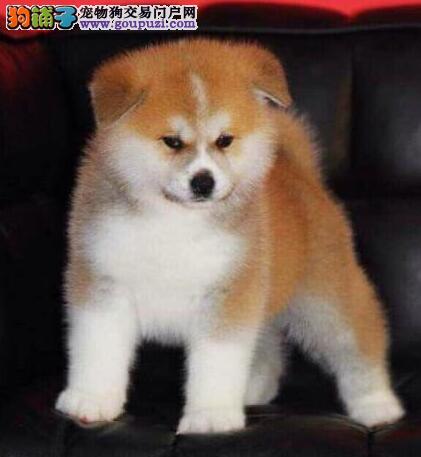 秋田犬 不以价格惊天下 但以品质惊世人期待您的咨询