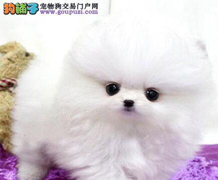 重庆专业繁殖 纯种博美犬  可送货上门.