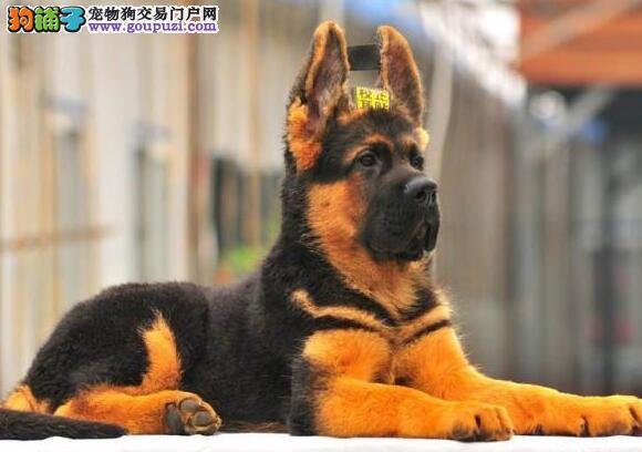 上海正规狗场出售顶级锤系德国牧羊犬 可办理证书芯片