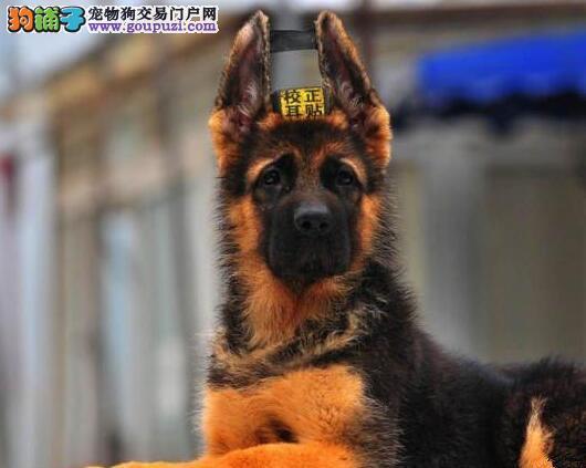 经过权威认证纯种健康的德国牧羊犬