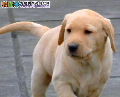 热销拉布拉多幼犬 注射芯片颁发证书 诚信经营保障