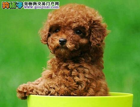 专业狗舍促销顶级品质贵宾犬哈尔滨地区购买送狗粮