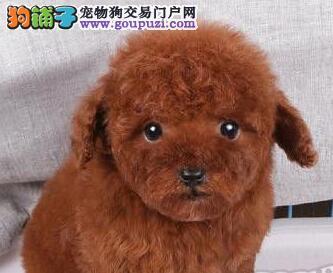 天津韩系小体贵宾犬待售防疫齐可签订活体协议支持视频