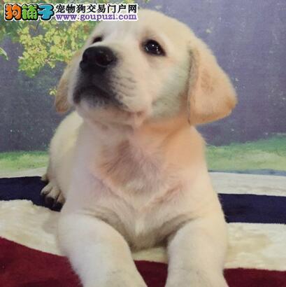 贵阳拉布拉多犬低价转让公母都有 可上门挑选全场包邮