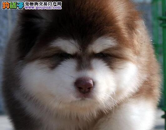 自家养纯种阿拉斯加雪橇犬2017