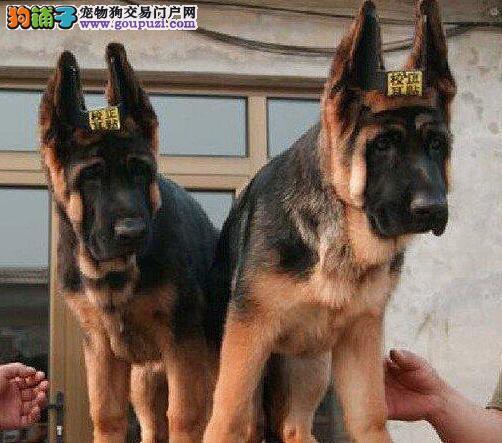 双血统德牧幼犬出售 大骨架纯种德牧幼犬 欢迎上门挑选