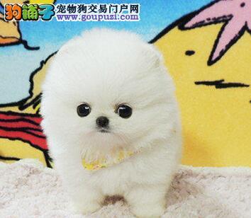 杭州犬舍直销纯种哈多利博美球型博美.袖珍迷你犬幼犬