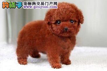 自家繁殖多只极品芜湖泰迪出售犬活泼可爱