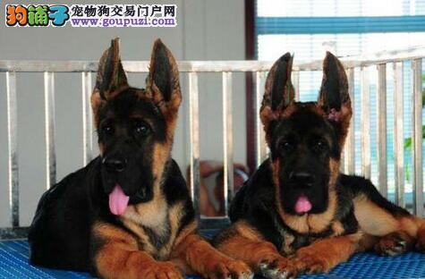 重庆家养纯种骨架结实毛色黑亮的德国牧羊犬幼犬包健康