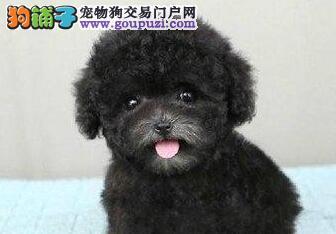 自家繁殖泰迪犬出售公母都有赛级品质血统保障