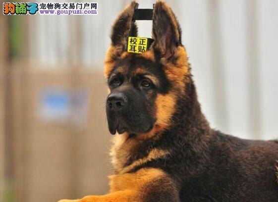 出售黑背锤系血统的德国牧羊犬 南昌市内免费送货上门