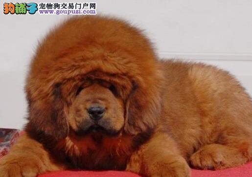 出售极品狮子头铁包金幼獒 品相好 毛长嘴短 血统优秀