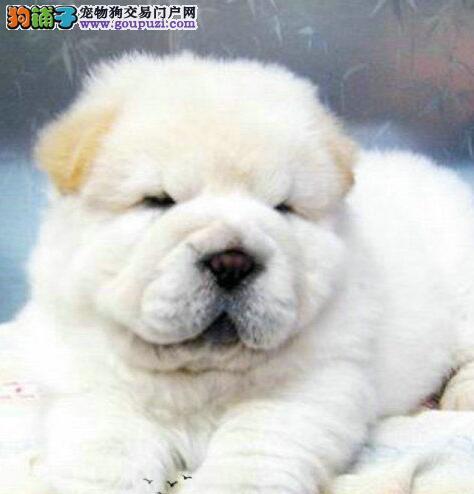 高品质的广东松狮找爸爸妈妈送用品送狗粮
