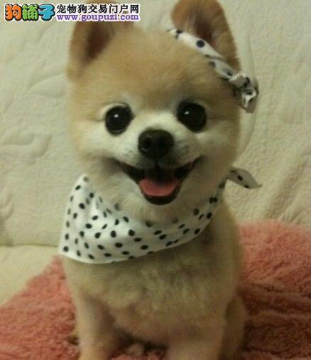 广州繁殖出售哈多利纯种博美犬宝宝 价格优惠多只可选