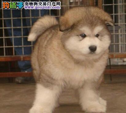 狗场热卖阿拉斯加雪橇犬杭州市区内可送货到家图片