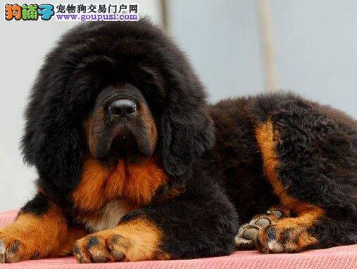 南京专业养殖基地出售高品质藏獒 大狮头铁头包金血系1