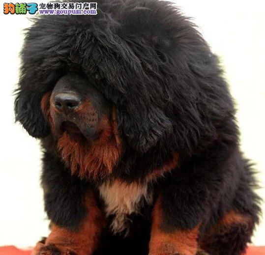 南京专业养殖基地出售高品质藏獒 大狮头铁头包金血系2