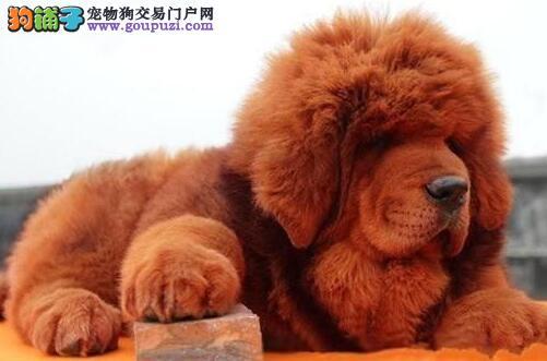 南京专业养殖基地出售高品质藏獒 大狮头铁头包金血系3