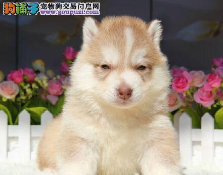 血统纯正体型健壮的南京哈士奇找新家 疫苗驱虫齐全