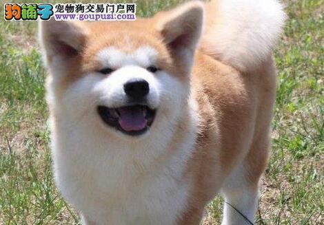 南京大型犬舍出售完美品相的秋田犬 纯日系血统