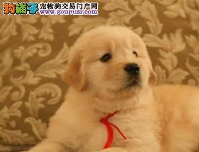 热销大骨架金毛犬 郑州周边地区可免费包邮送狗