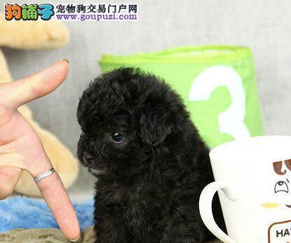 颜色全品相佳的贵宾犬纯种宝宝热卖中三针疫苗齐全