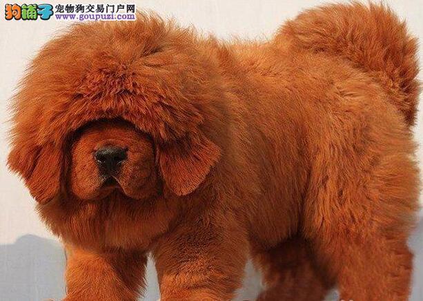 南京专业养殖基地出售高品质藏獒 大狮头铁头包金血系4