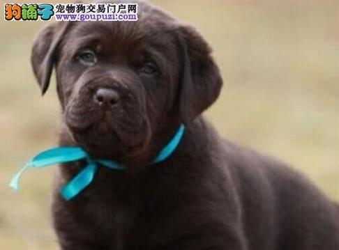 上海售纯种拉布拉多拉拉幼犬 神犬小七公母全有可挑选