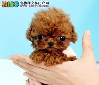 出售精品泰迪犬 欢迎来北京狗场直接挑选购买图片