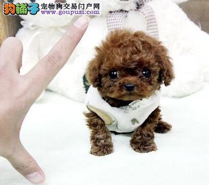 狗场直销出售徐州超小体泰迪犬 茶杯玩具血系多只供选2