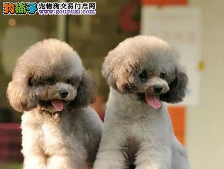 纯种血统贵宾犬宁波狗场低价促销 周边可送狗到家