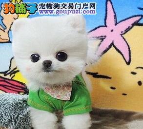 镇江纯种哈多利版球体博美幼犬肩高不超18厘米长不大