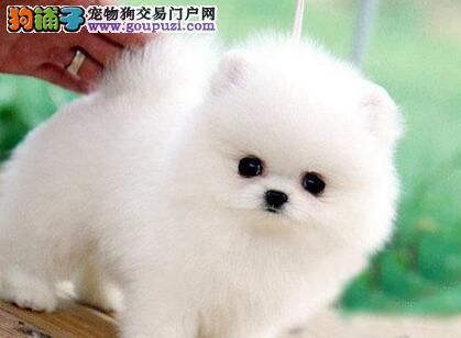 北京出售哈多利高端博美犬 可爱迷你俊介犬聪明伶俐1