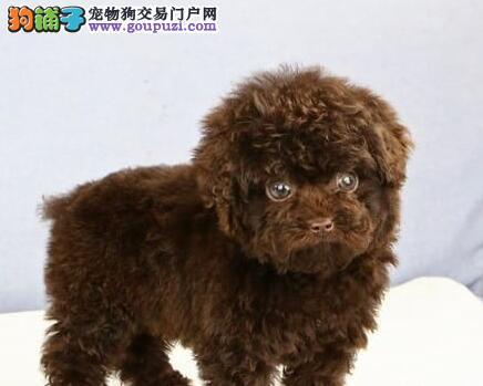 锦州售自家繁殖泰迪犬宝宝可送上门可视频挑选可来犬舍