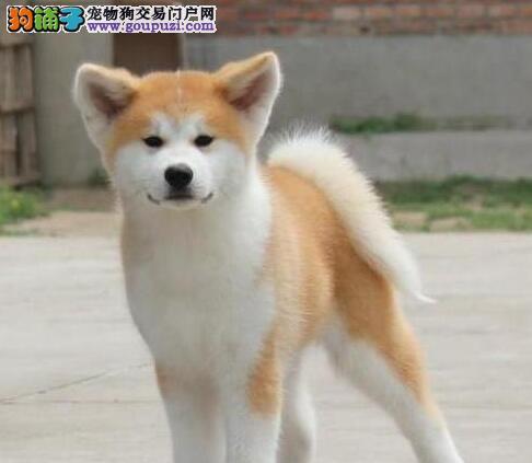 最忠诚的秋田犬价格精品纯种秋田犬幼犬出售公母均有