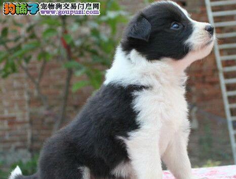 深圳市出售边境牧羊犬 包纯种健康包疫苗 价格好商量