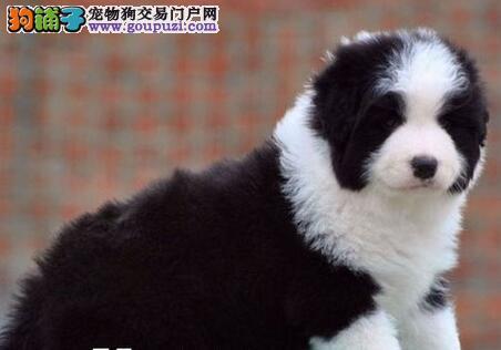 CKU犬舍认证出售高品质长治边境牧羊犬均有三证保障