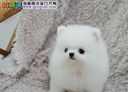 北京出售哈多利高端博美犬 可爱迷你俊介犬聪明伶俐3