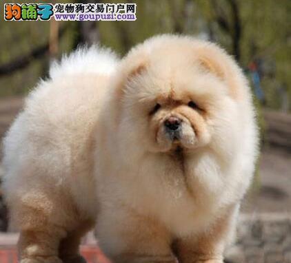 大嘴紫舌松狮犬武汉犬舍专业繁殖出售 可上门购买