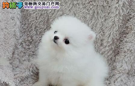 北京出售哈多利高端博美犬 可爱迷你俊介犬聪明伶俐4