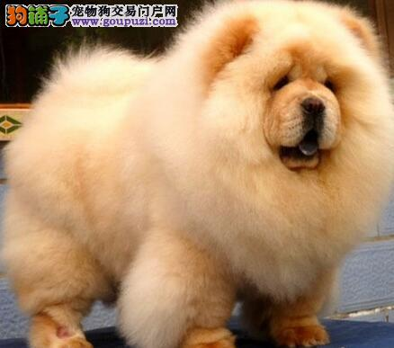 健康可爱的纯种西安松狮犬优惠处理中 可上门挑选看狗